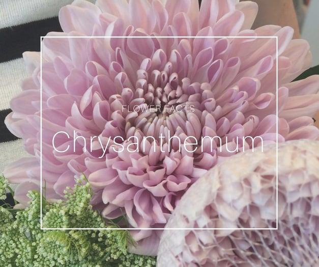 Flower Facts_Chrysanth3.jpg